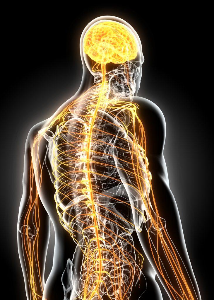 脳神経が背骨を通り全身に張り巡らされているイメージ図